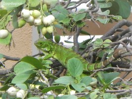 Iguana en las ramas Divi Village Golf & Beach Resort en Aruba