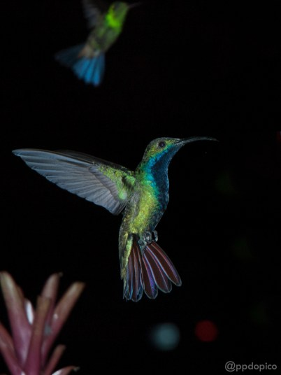 ♂ Mango Pechinegro [Black Throated Mango (Anthracothorax nigricollis)] y difuminado ♀=♂ Amazilia Bronceada Coliazul, [Copper Rumped Hummingbird (Amazilia tobaci)]