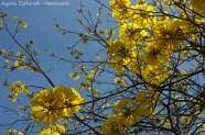 Foto® Agata Cafarelli (Venezuela): Araguaney en flor.