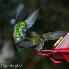 ♀=♂ Amazilia Bronceada Coliazul, [Copper Rumped Hummingbird (Amazilia tobaci)].