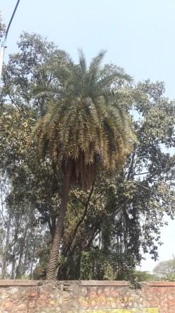 शेंदूळीचे झाड