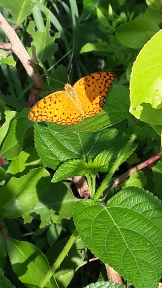 Butterfly at Taljai, Sept 2014