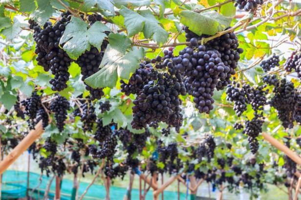 Chicago Apartments, Organic Produce, Organic Grapes