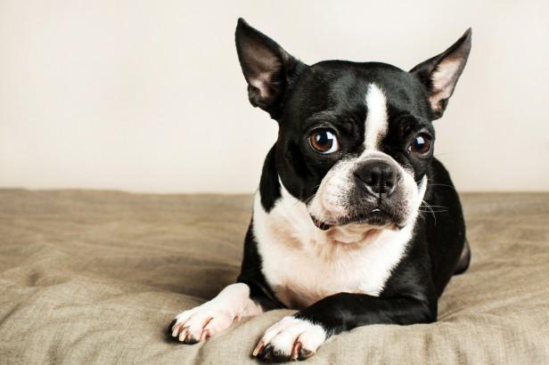 Chicago Apartments, Apartment Dog Breeds, Boston Terrier
