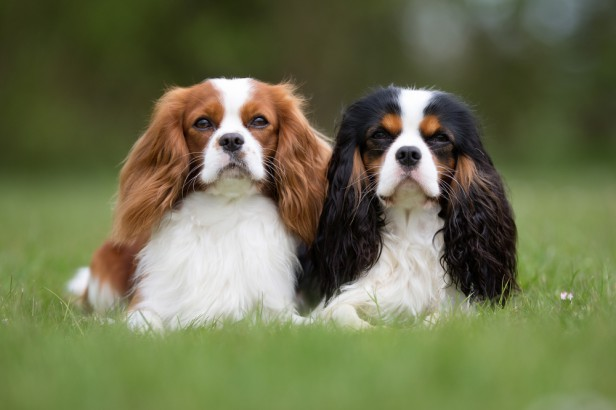 Chicago Apartments, Apartment Dog Breeds, Cavalier King Charles Spaniel