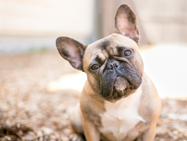 Chicago Apartments, Small Dog Breeds, French Bulldogs