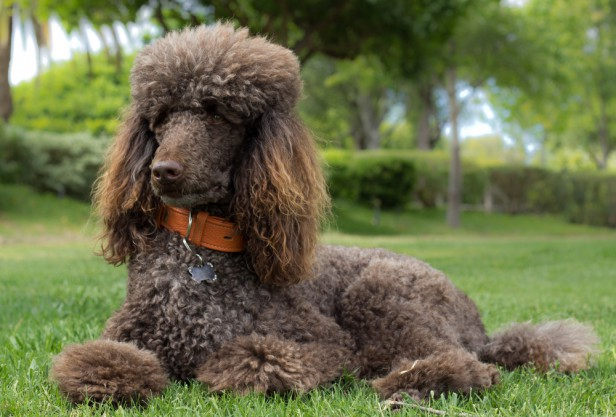 Chicago Apartments, Hypoallergenic Dogs, Poodles