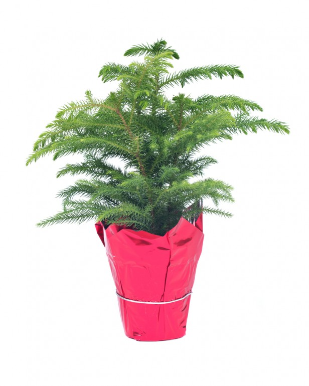Chicago Apartments, Holiday Houseplants, Norfolk Island Pine