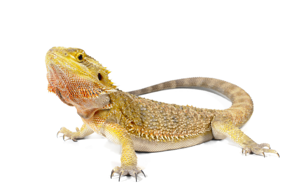 Chicago Apartments, Pets for Apartments, Pet Bearded Dragons