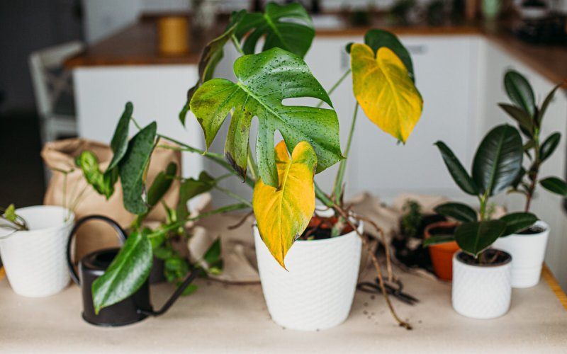 Plant Leaves Turning Yellow
