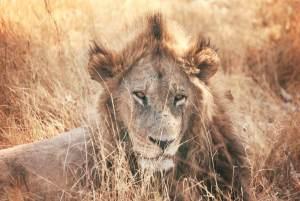 Lion - Image