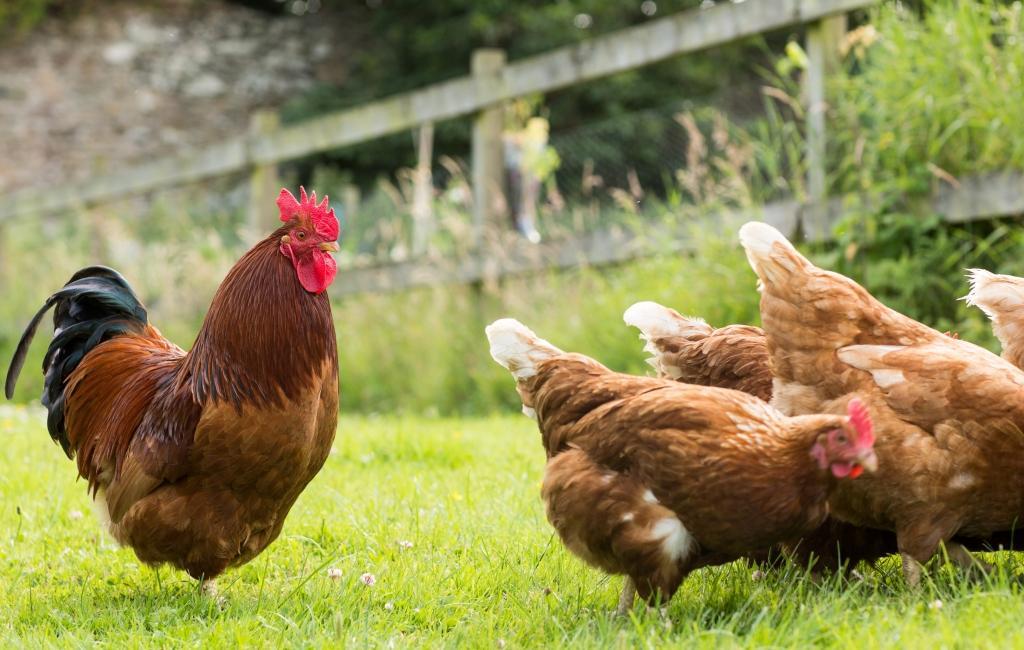 Hühner einfangen oder internes Kommunikationskonzept