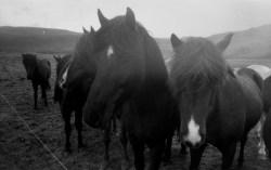 IJslandse paarden; Colorsplash met Kodak Tri-X 400 film.