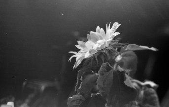 Zonnebloem. Olympus OM-1 met Kentmere Black _ White 100 film.