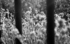 Lavendel. Olympus OM-1 met Kentmere Black _ White 100 film.