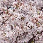 桜の時季に、卒園する子ども