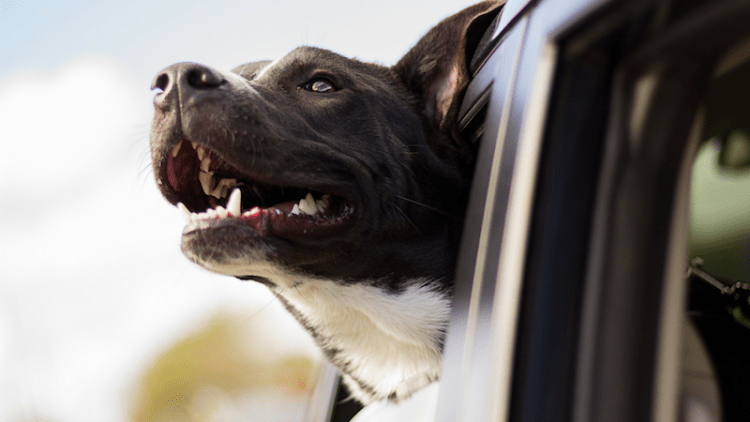How to clean pet hair out of your car