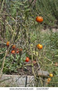 weeking tomatoes 3