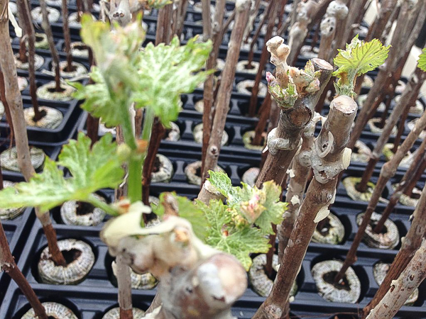 A tray of grafted grapevines breaking bud for the first time. By Grafted Vines (CCBYSA)