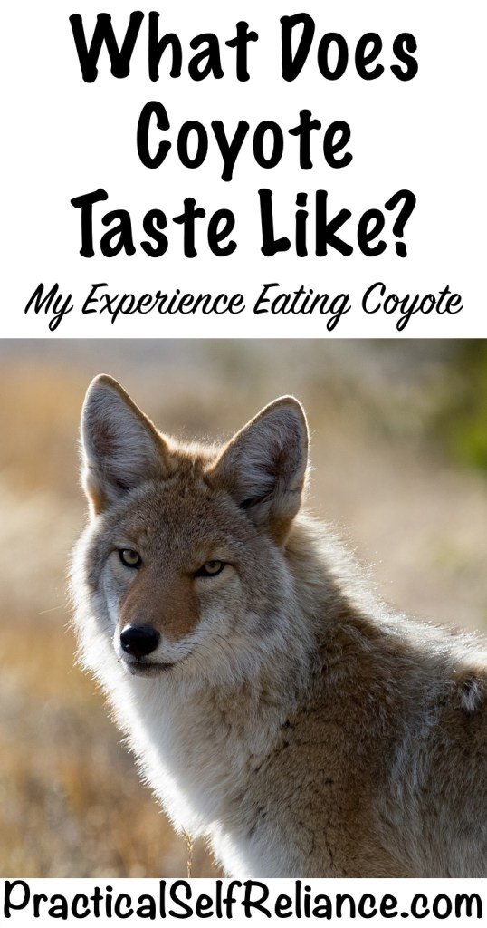 What does coyote taste like? #wildgame #hunting #survivalist #prepper #homesteading #butchering #selfreliant #selfsufficiency #coyote