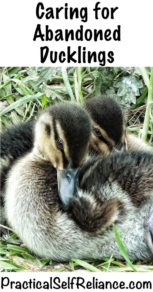 Caring for Abandoned Ducklings #ducklings #raisingducks #backyardpoultry