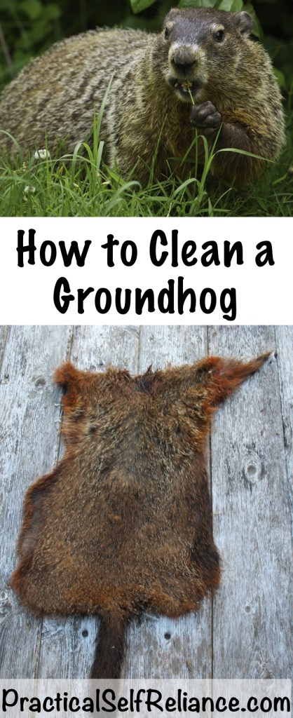 How to Clean a Groundhog #groundhog #woodchuck #wildgame #hunting #survivalist #prepper #homesteading #butchering #selfreliant #selfsufficiency