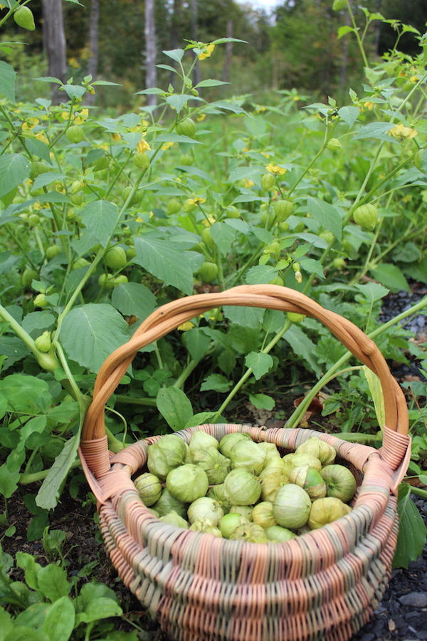 Harvesting tomatillos for salsa verde from volunteer plants growing at the edge of the woods.