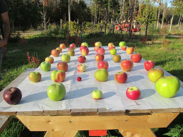 32 Heirloom Apple Taste Test