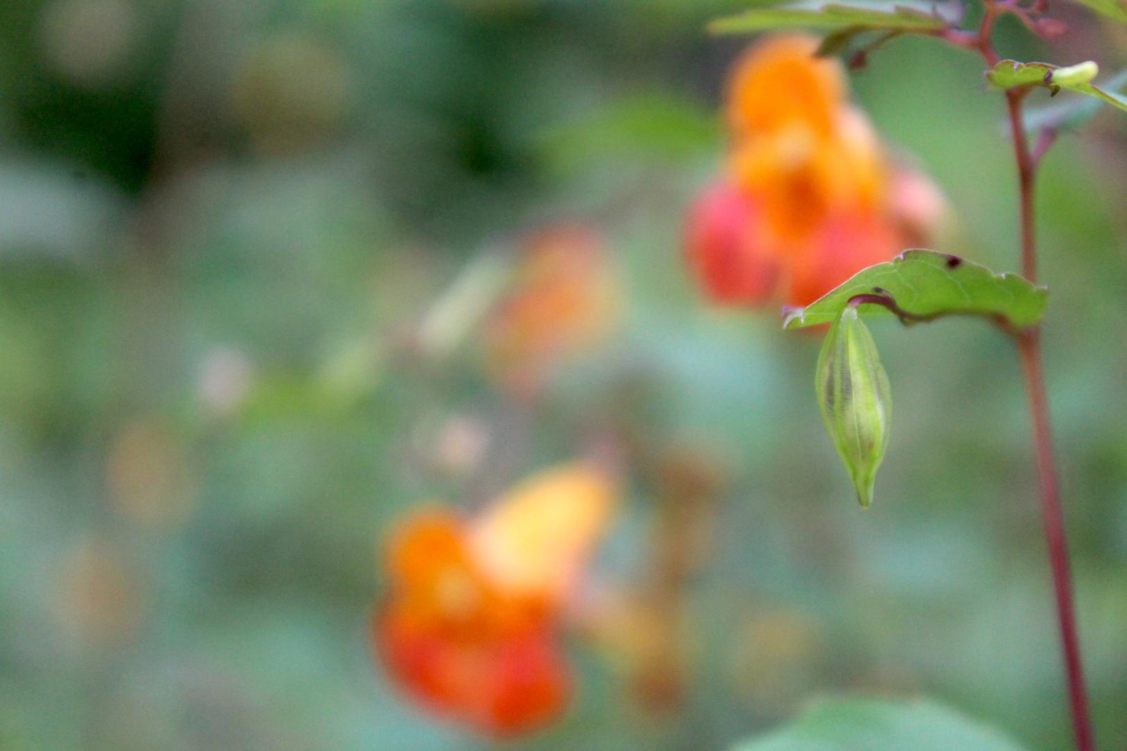 Jewelweed Seed Pod on Plant