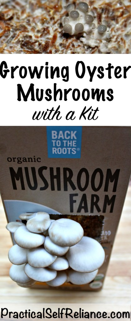 Growing Oyster Mushrooms with a Kit #mushrooms #ediblemushrooms #mushroomkit #foodgardening #howtogrow #gardeningtips #homesteading #homestead #selfreliant #oystermushrooms