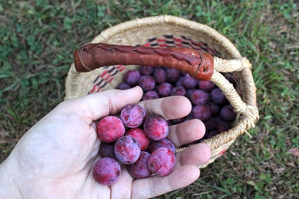 Foraged wild plums in Vermont
