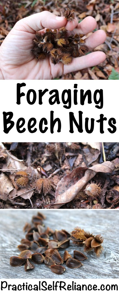 Foraging Beech Nuts — Practical Self Reliance #foraging #forage #wildfood #wildedibles #nuts #permaculture #selfsufficiency #homesteading #preparedness #beechnuts