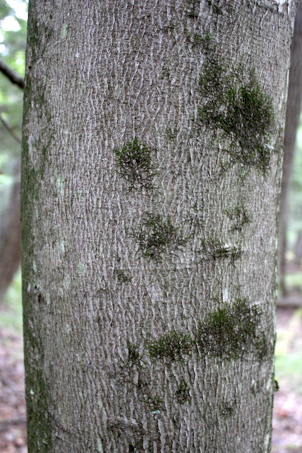 Healthy Beech Tree Bark