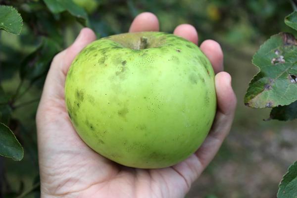 Newton Pippin apple