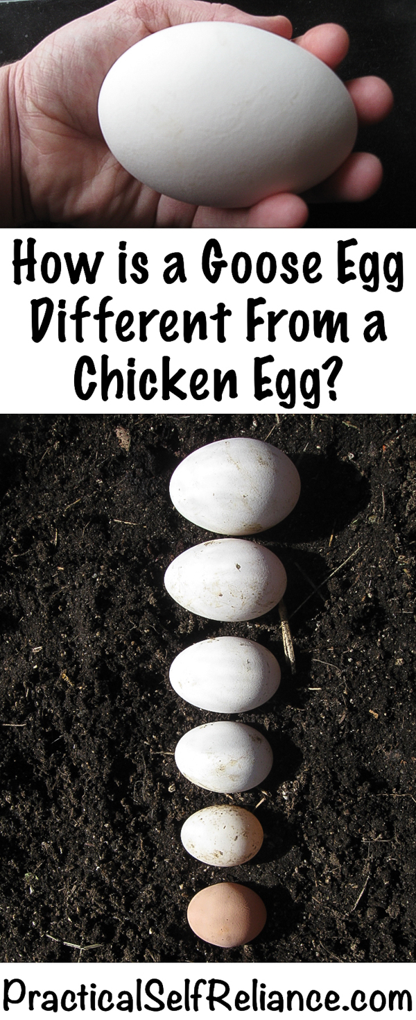 How is a Goose Egg Different from a Chicken Egg? #gooseegg #eggs #geese #raisinggeese #backyardchickens #homestead #chickens