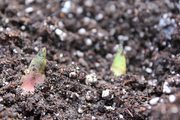 Ginger stems beginning to sprout through potting soil.