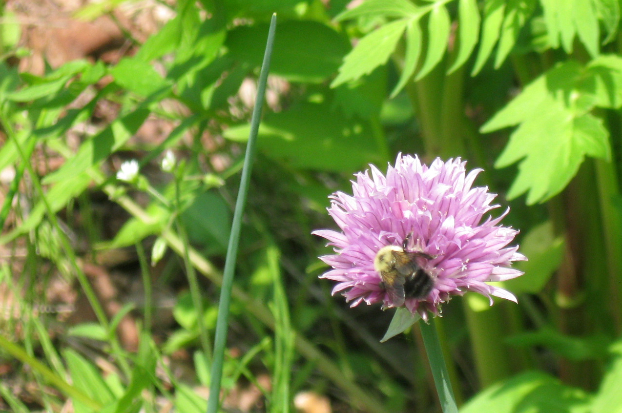 Bee visiting a chive blossom in the garden mid-summer.
