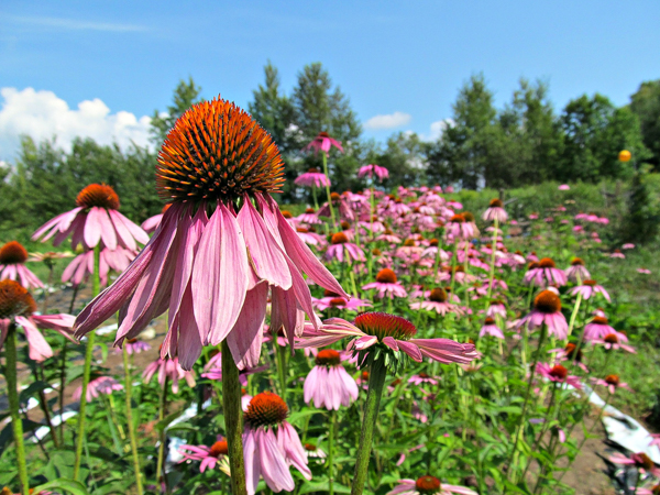 Growing Echinacea for market on a small farm in Vermont.
