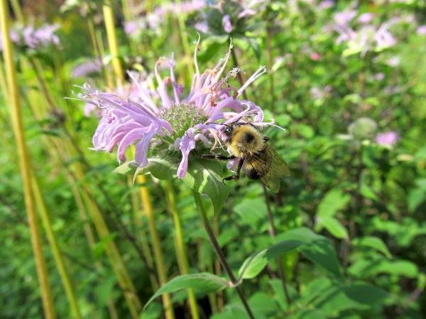 A wild bee balm species feeding a native bumble bee.