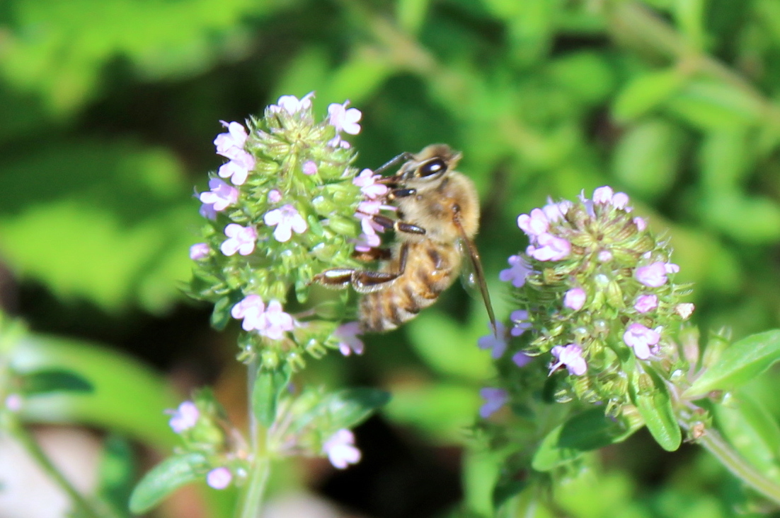 Thyme flowers and honey bee