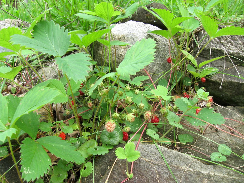 Alpine strawberry plants