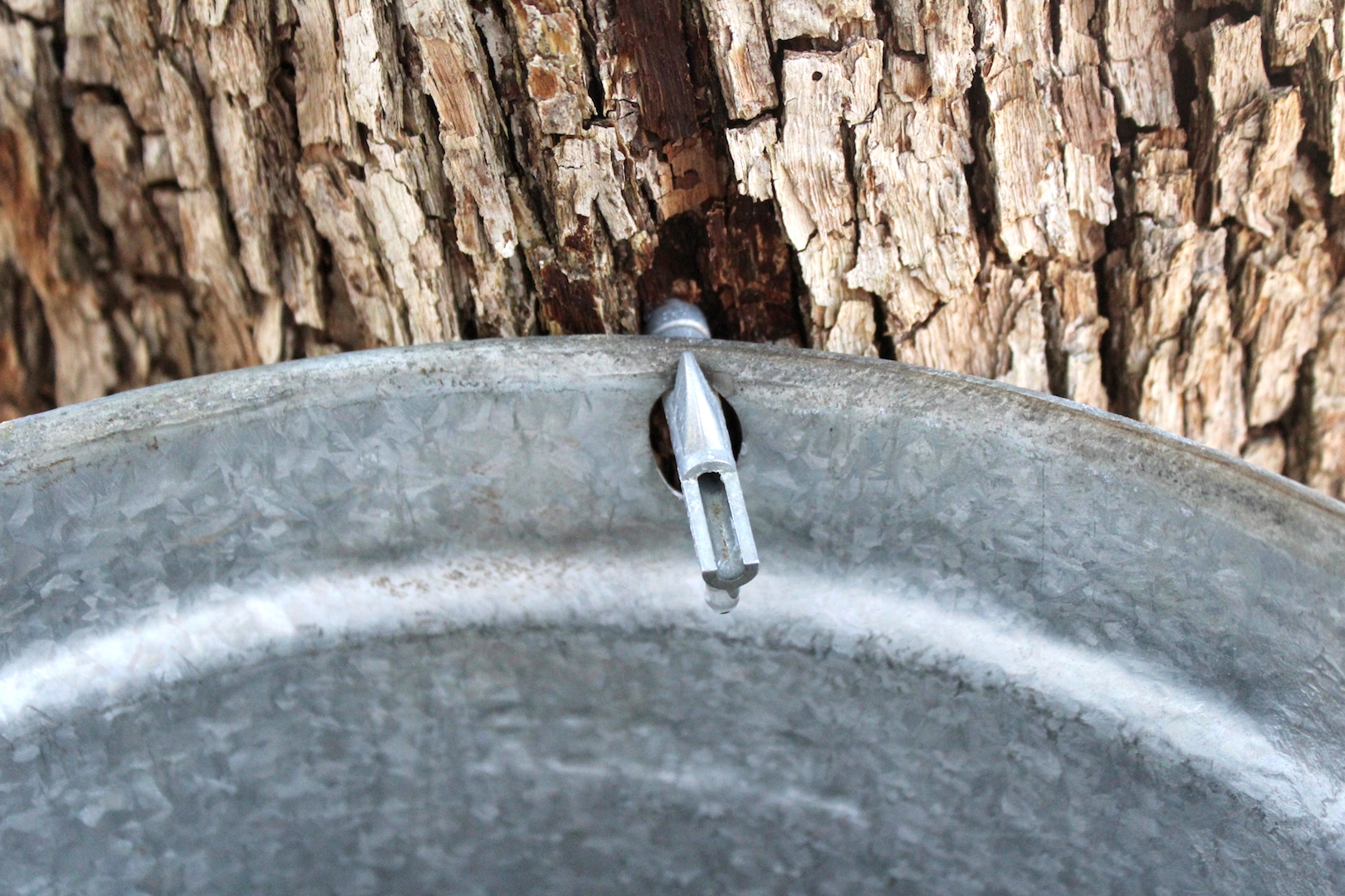 Ironwood tree tapped for syrup