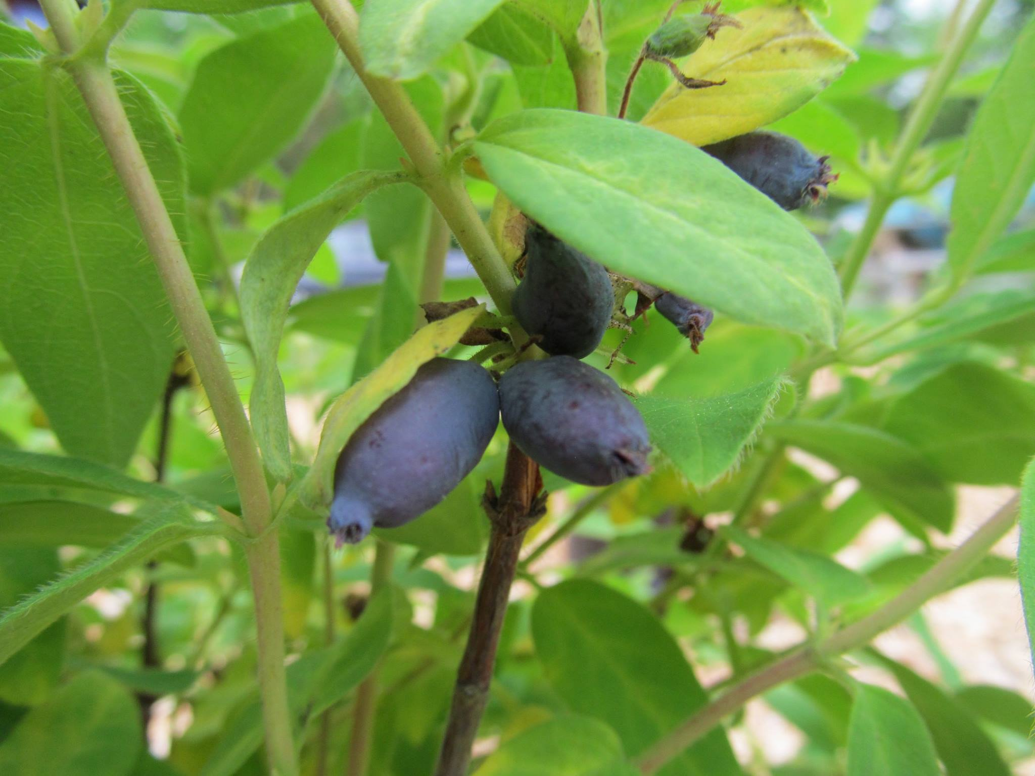 Growing Honeyberries