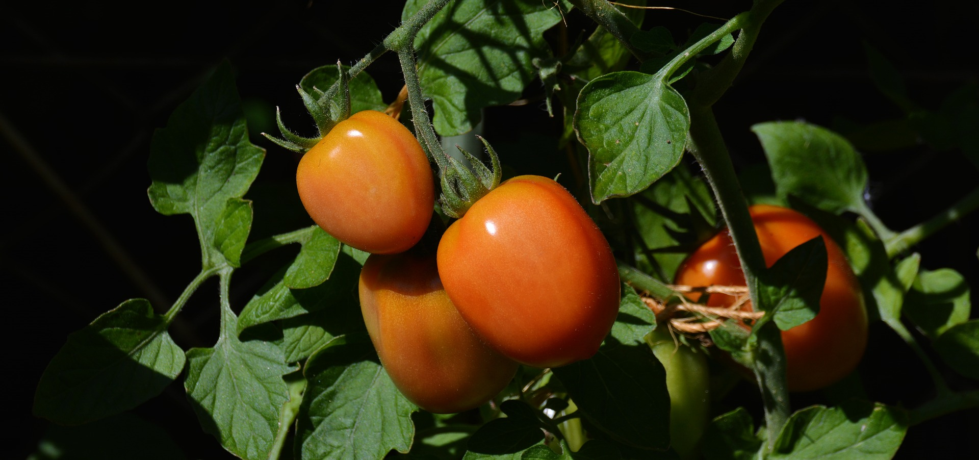 Best Roma Tomato Varieties for Canning