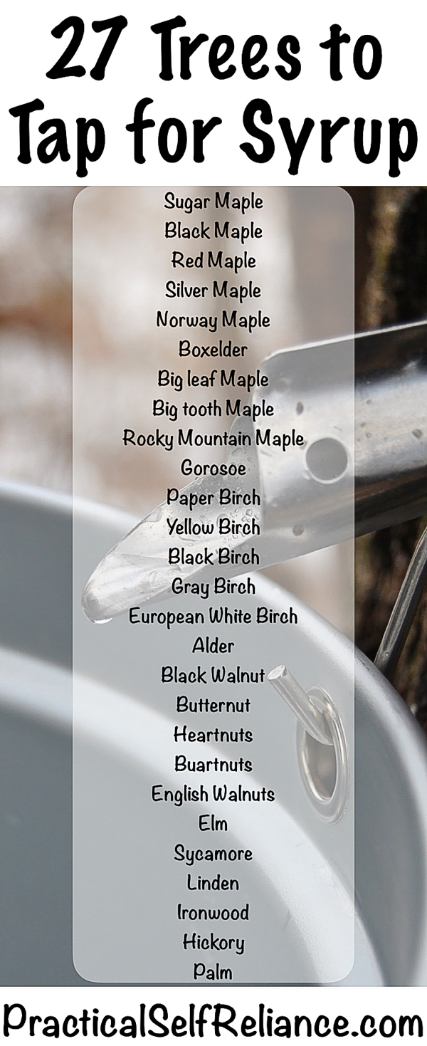 27 Trees You Can Tap for Syrup #maplesyrup #homesteading #selfsufficiency #naturalsweetener #realsugar #tappingtrees #trees