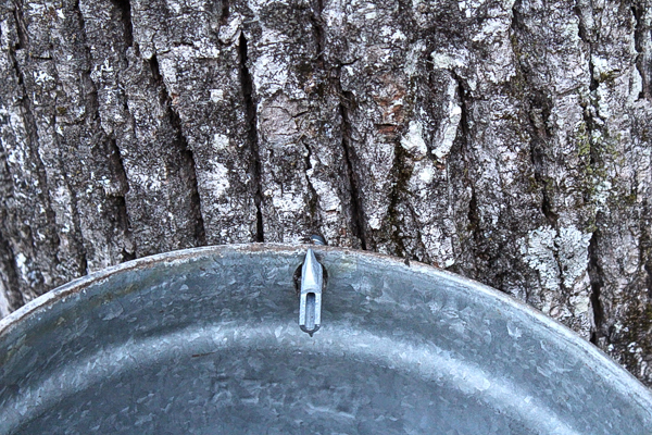 Linden tree tapped for syrup