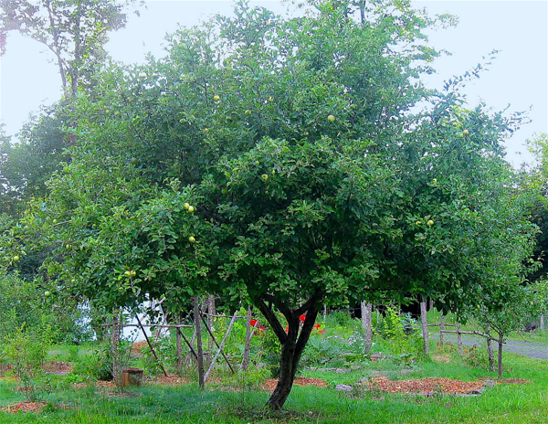 Yellow Transparent Apple Tree