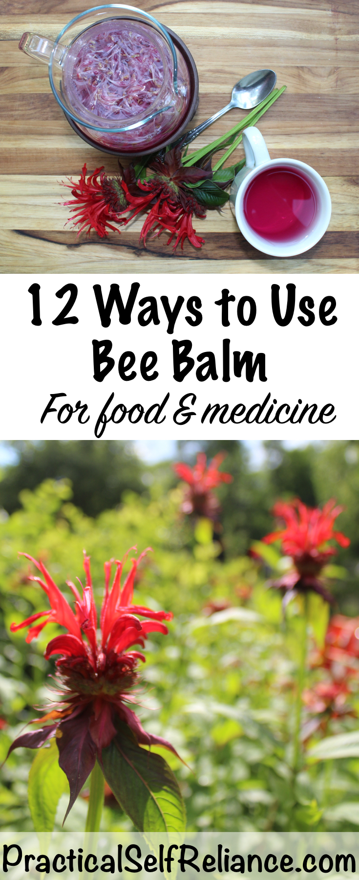 12 Ways to Use Bee Balm for Food & Medicine #beebalm #monarda #uses #herbs #herbalism #edibleflowers  #herbalist