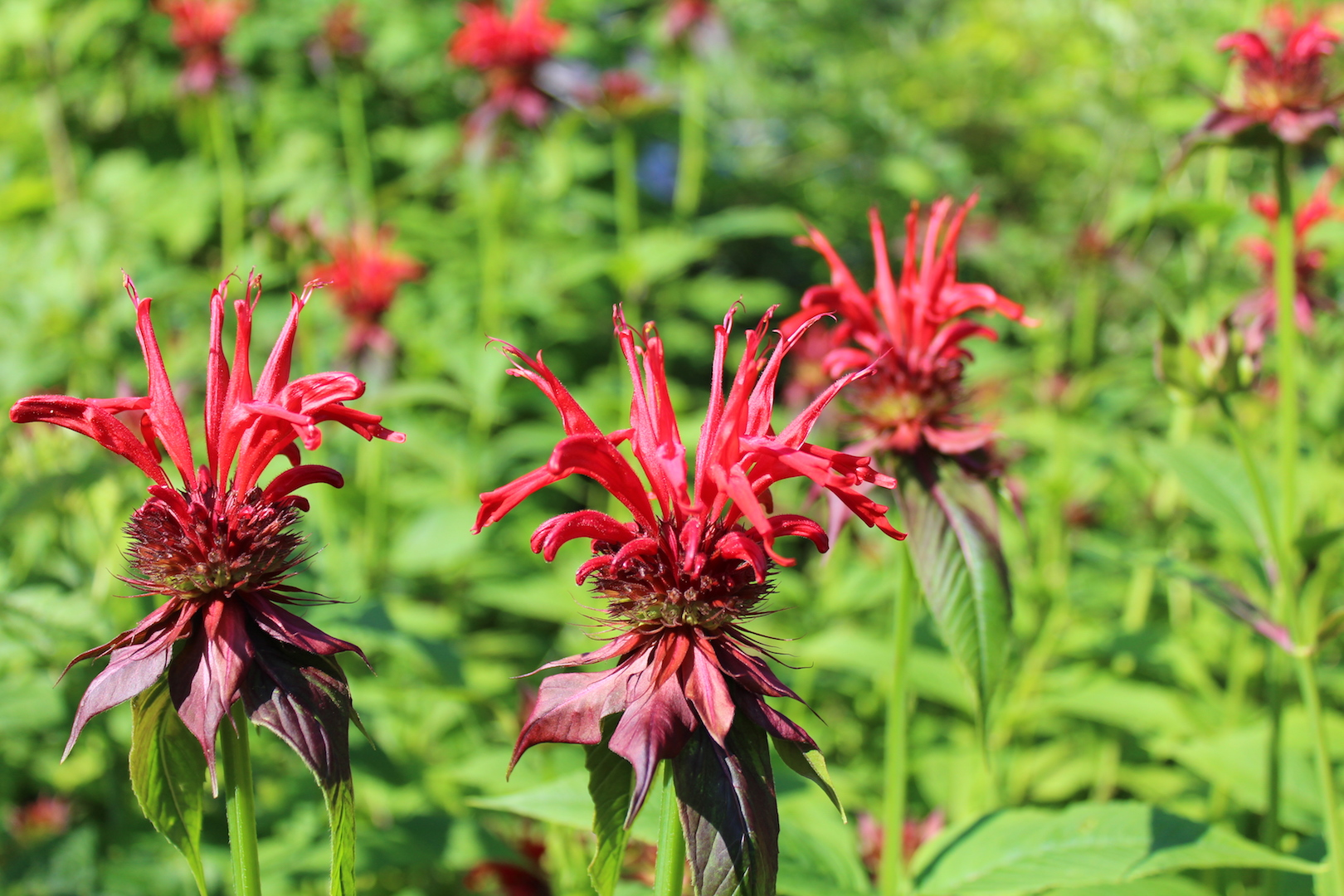 12 Ways to Use Bee Balm