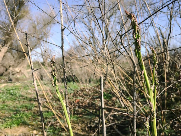 overgrown asparagus stalks growing in the wild